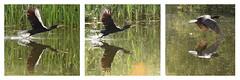 Cormorant In-Flight (rq uk) Tags: rquk nikon d750 dintonpastures wokingham nikond750 afsnikkor70200mmf28efledvr afsteleconvertertc14eiii cormorant