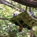 Red panda dozing in a hammock