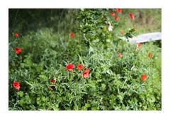 _K002749 (Jordane Prestrot) Tags: ♊ jordaneprestrot coquelicot amapola poppy fleur flower flor