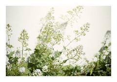 _K002775 (Jordane Prestrot) Tags: ♊ jordaneprestrot fleur flower flor ombre shadow sombra