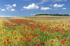 *I had a dream* (Albert Wirtz @ Landscape and Nature Photography) Tags: osteifel östlichevulkaneifel vulkaneifel eifel summer sommer gerste barley dream traum mohn poppy poppies kornblume cornflower goldfarben leuchtend nature natur natura flower bloom blossom acker ackerbau rural fineart landscapefineart fineartphotography paesaggi paisaje campo campagne campagna landschaft rheinlandpfalz rhinelandpalatinate germany deutschland allemagne nikon d810 volcaniceifel
