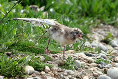 Black-headed Gull chick-7D2_4622-001 (cherrytree54) Tags: black headed gull rye harbour east sussex canon sigma 7d 150600