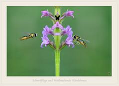 US850-189fl (Weinstöckle) Tags: wohlriechendehändelwurz schwebfliege insekt orchidee