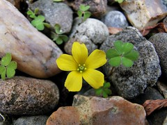 A yellow wild flower in the middle of stones (janettehall532) Tags: wildyellowflower yellowflower miniatureflower wildflower flower floral flowers macroflowers gardenflowers flowersandcolours flowerphotography flowerpetals gardenflower naturephotography nature beautiful beauty beautyinnature colours colour smallflowers outdoors photography closeupphotography closeupshot photographylovers macrophotography macro pic photo huaweip30pro huawei flickr flickrcentral bloom blossom blooming