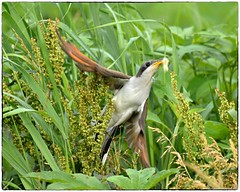 Yellow Billed Cuckoo on the hunt (RKop) Tags: raphaelkopanphotography armlederpark cincinnati ohio d500 200500mmf56edvrzoom