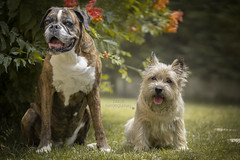 boxer&cairn terrier (Fabi's Photography) Tags: boxer cairn terrier dog chien