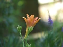 Orange Flower - enchantment lily. (river crane sanctuary) Tags: orange flower rivercranesanctuary
