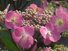 Hydrangea Flowers (river crane sanctuary) Tags: hydrangea garden rivercranesanctuary