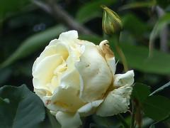 Cream Rose (river crane sanctuary) Tags: cream rose g garden rivercranesanctuary flower