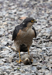 Sparrowhawk with young sparrow 3 (BeachcomberCo) Tags: bird birdofprey raptor
