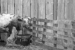 Corner Cow (peterkelly) Tags: digital bw northamerica canon 6d usa us unitedstatesofamerica unitedstates dearborn michigan greenfieldvillage thehenryford firestonefarm workingfarms wooden fence cow water bucket horns barn