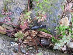 Stag Beetle Sideways On near Build Site (river crane sanctuary) Tags: stag beetle rivercranesanctuary