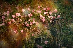 Albertine on the Pergola (judy dean) Tags: judydean 2019 garden texture ps rose rosa albertine pink climber pergola rustic