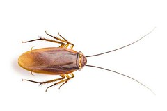 Make your Property Cockroach Free by Cockroach Control Dubai (Black Horse Pest Control) Tags: pest control cockroach dubai