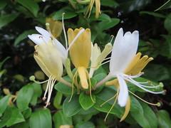 Honeysuckle Flowers (river crane sanctuary) Tags: honeysuckle flower rivercranesanctuary