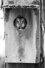 Owl In A Box (peterkelly) Tags: digital bw northamerica canon 6d canada o wheatley pierroad birdhouse screechowl owl bird hole wooden