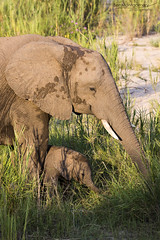 African Elephants - Big and Small (BenSMontgomery) Tags: african elephants big small mother calf sabie river lower skukuza kruger national park south africa safari wildlife