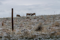 A-6556 (markbyzewski) Tags: rockymountainarsenalnationalwildliferefuge snow deer raptor bird landscape denver colorado