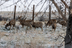 A-6554 (markbyzewski) Tags: rockymountainarsenalnationalwildliferefuge snow deer raptor bird landscape denver colorado