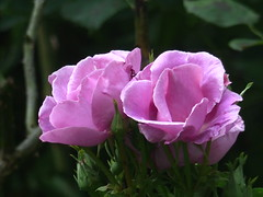 Pink Roses - Lucky rose (river crane sanctuary) Tags: pink roses rivercranesanctuary