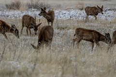 A-6548 (markbyzewski) Tags: rockymountainarsenalnationalwildliferefuge snow deer raptor bird landscape denver colorado