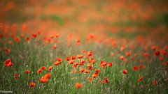18062019-DSC_0243 (vidjanma) Tags: bokeh champ coquelicots fleurs