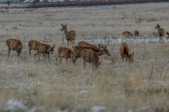 A-6544 (markbyzewski) Tags: rockymountainarsenalnationalwildliferefuge snow deer raptor bird landscape denver colorado