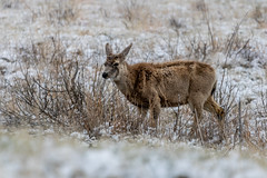 A-6531 (markbyzewski) Tags: rockymountainarsenalnationalwildliferefuge snow deer raptor bird landscape denver colorado