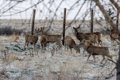 A-6555 (markbyzewski) Tags: rockymountainarsenalnationalwildliferefuge snow deer raptor bird landscape denver colorado