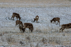 A-6528 (markbyzewski) Tags: rockymountainarsenalnationalwildliferefuge snow deer raptor bird landscape denver colorado