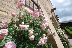 Dreiein'ger Gott, sieh von Natur (amras_de) Tags: rose rosen ruža rosa ruže rozo roos arrosa ruusut rós rózsa rože rozes rozen roser róza trandafir vrtnica rossläktet gül blüte blume flor cvijet kvet blomst flower floro õis lore kukka fleur bláth virág blóm fiore flos žiedas zieds bloem blome kwiat floare ciuri flouer cvet blomma çiçek eltville burg rheingau