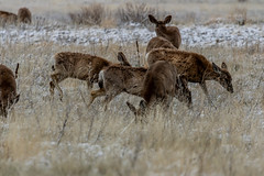 A-6549 (markbyzewski) Tags: rockymountainarsenalnationalwildliferefuge snow deer raptor bird landscape denver colorado
