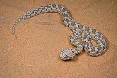 Cerastes cerastes (Matthieu Berroneau) Tags: sony alpha ff 24x36 macro nature wildlife animal fe sonya7iii sonya7mk3 sonyalpha7mark3 sonyalpha7iii a7iii 7iii 7mk3 sonyilce7m3 herp herping trip israel israël reptile reptilian reptilia serpent 90 f28 g oss fe90f28macrogoss sonyfesonyfe2890macrogoss objectifsony90mmf28macrofe sel90m28g snake cerastes cerastescerastes vipère à cornes vipèreàcornes saharan horned viper saharanhornedviper achanhartumim achan hartumim blue bleu