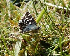 Grizzled skipper (rockwolf) Tags: pyrgusmalvae butterfly grizzledskipper papillon tacheté insect penhalesands cornwall 2019 rockwolf