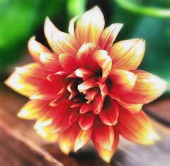 Embers (><Nessa><) Tags: flora flowers dahlia macros reds oranges yellow vanessasbackyard makemesmile summer morninglight copyrightvanessabartosek
