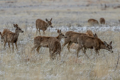 A-6545 (markbyzewski) Tags: rockymountainarsenalnationalwildliferefuge snow deer raptor bird landscape denver colorado