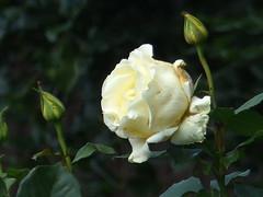 Flanked by moe Buds (river crane sanctuary) Tags: cream rose rivercranesanctuary flower buds
