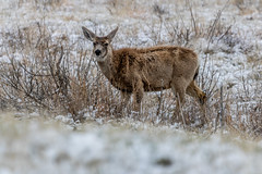 A-6530 (markbyzewski) Tags: rockymountainarsenalnationalwildliferefuge snow deer raptor bird landscape denver colorado