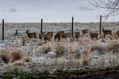 A-6558 (markbyzewski) Tags: rockymountainarsenalnationalwildliferefuge snow deer raptor bird landscape denver colorado