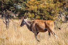Strolling eland (Johann (Still Me!)) Tags: antelope eland taurotragusoryx southerneland bovidae taurotragus nature wildlife undertheafricansky johanndejager ef70300mmf456isusm canoneos5dmarkiv pspprisesurprise makemesmile