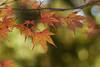 モミジ - Momiji (Hachimaki123) Tags: 日本 japan 御岳山 mitakesan mtmitake 植物 紅葉 モミジ momiji