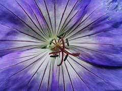 Close up shot to this beautiful purple Geranium (janettehall532) Tags: purplegeranium purple geranium flowers floral macroflowers macro macrophotography beautiful beauty flowerphotography gardenflowers flowersandcolours flowerpetals bloom blooming blossom colours naturephotography nature outdoors closeupshot closeupphotography photo photography photographylovers huaweip30pro huawei flickr flickrcentral details detailed beautyinnature naturelovers lovenature petals prettypetals pretty colour colourful