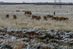 A-6550 (markbyzewski) Tags: rockymountainarsenalnationalwildliferefuge snow deer raptor bird landscape denver colorado