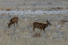 A-6547 (markbyzewski) Tags: rockymountainarsenalnationalwildliferefuge snow deer raptor bird landscape denver colorado