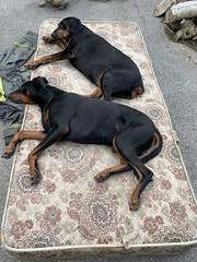 Midday Nap - Dobermann Pinschers Gabbana And Saxon (firehouse.ie) Tags: doberman dobie pinscher dobe dobermann dobey dobies dobermans dobes pinschers dobermanns dobeys dog dogs saxon blackandtan gabbana