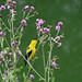 A Goldfinch on Thistle