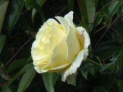 Cream Rose Splendour (river crane sanctuary) Tags: cream rose rivercranesanctuary flower