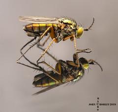Dolichopodidae on Glass (John Chorley) Tags: dolichopodidae longleggedfly johnchorley macro macros macrophotography fly nature wildlife closeup closeups 2019