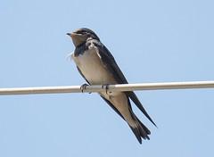 busy bird (Vladimir Gasai) Tags: birds nikon d750 athens greece