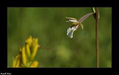 L'épipactis des marais (Epipactis palustris) - Côte aux Chèvres - Malans (francky25) Tags: lépipactis des marais epipactis palustris côte aux chèvres malans franchecomté doubs orchidée sauvage orchids flore